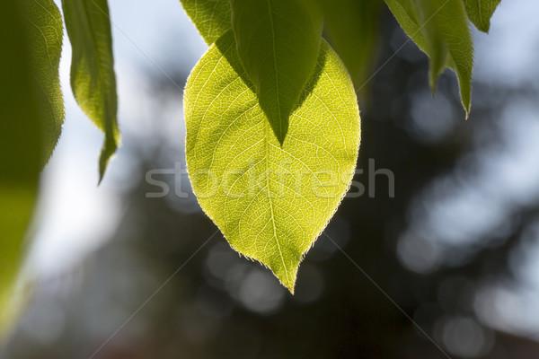 Folhas verdes primavera sol céu Foto stock © ironstealth