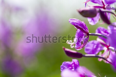 Summer lupine blossoms Stock photo © ironstealth