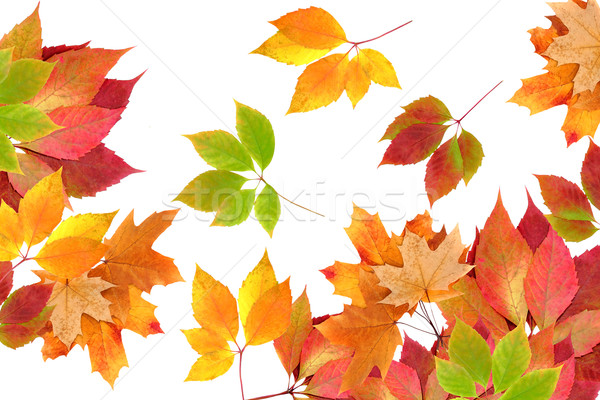 autumn leaves Stock photo © Iscatel