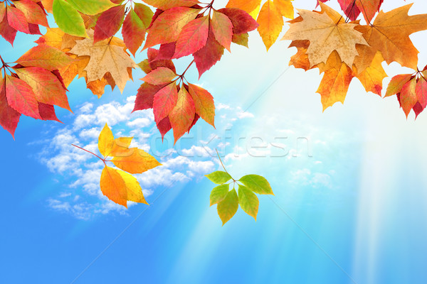 autumn leaves against the sky Stock photo © Iscatel