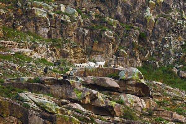 Mountain goats on slope. Altai Russia Stock photo © ISerg