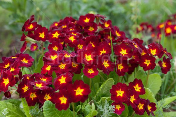 Prímula flores vermelhas jardim flor beleza verão Foto stock © ISerg