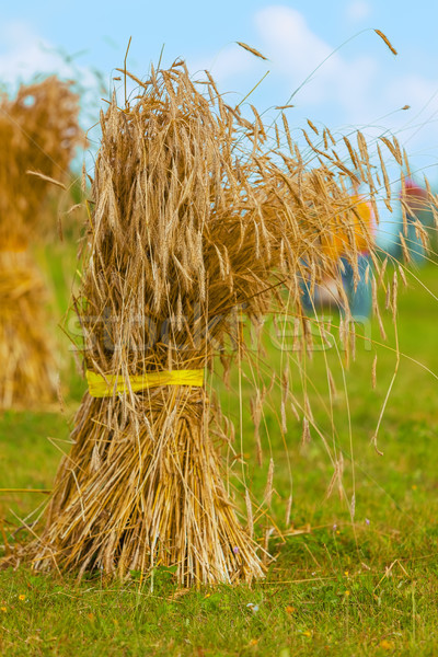 sheaf of straw. grain yield Stock photo © ISerg