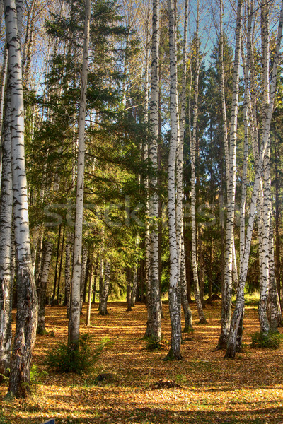 Autumn wood. The fallen down foliage. A landscape. Stock photo © ISerg