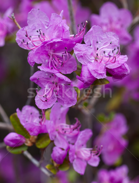 Closeup Rhododendron dauricum flowers. Spring blossoming in Alta Stock photo © ISerg