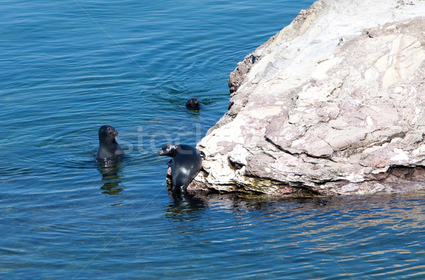 Stock photo: Baikal seal on rest. Russia