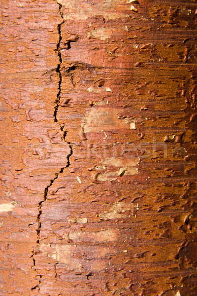 Texture from a birch bark Stock photo © ISerg