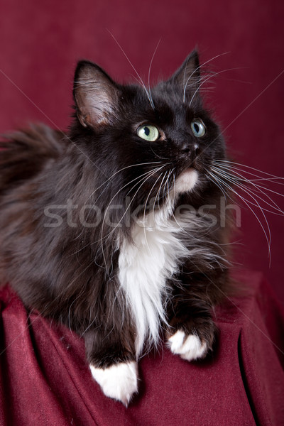 Beautiful domestic cat on a red background Stock photo © ISerg