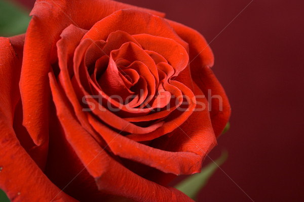 Bud of a scarlet rose close up Stock photo © ISerg