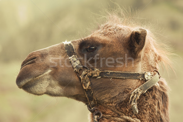 head camel with harness. Animal Stock photo © ISerg