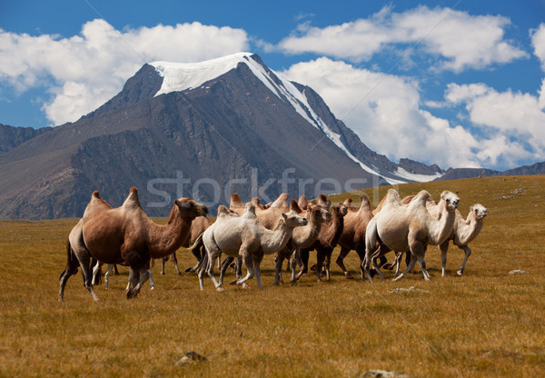 Herd camels against mountain. Altay mountains. Mongolia Stock photo © ISerg