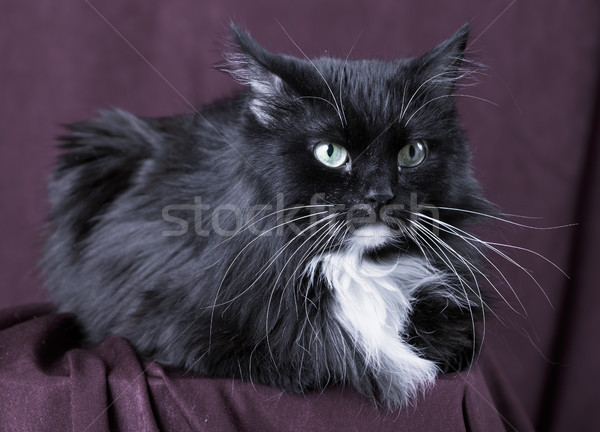 Beautiful domestic cat on red background Stock photo © ISerg