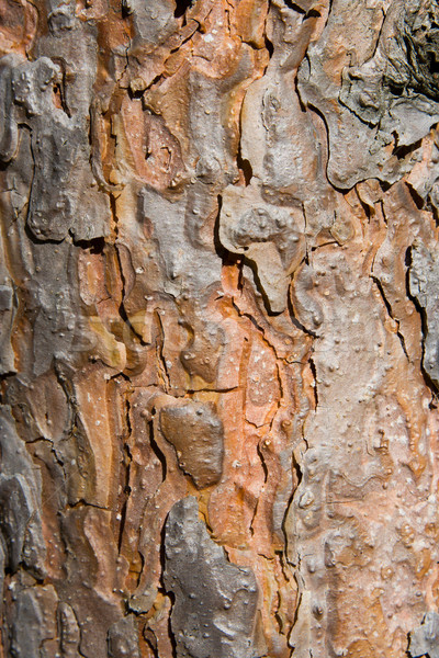 Texture from a pine bark Stock photo © ISerg