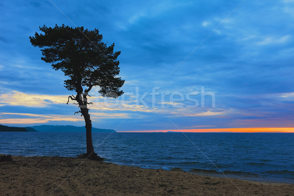 Tree on sandy coast of Lake Baikal. Russia Stock photo © ISerg