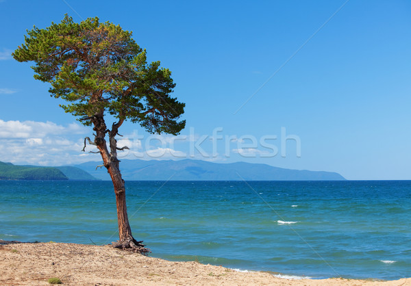 Lake Baikal. Lonely tree ashore Stock photo © ISerg