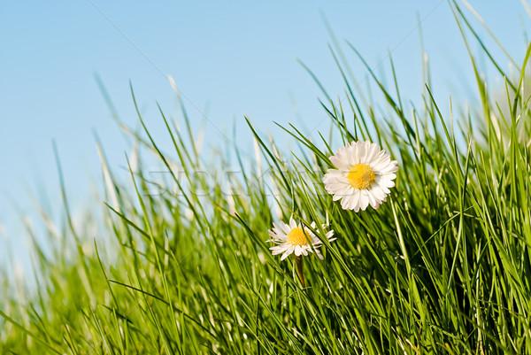 daisies in the sun Stock photo © italianestro