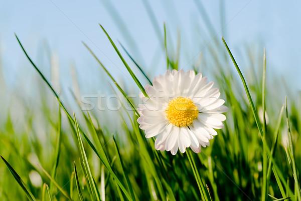 daisy in the sun Stock photo © italianestro