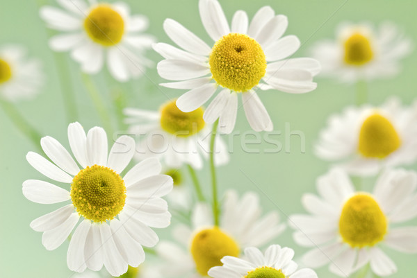 camomile bouquet Stock photo © italianestro