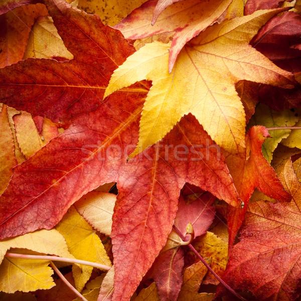 Otono rojo amarillo colorido árbol resumen Foto stock © italianestro