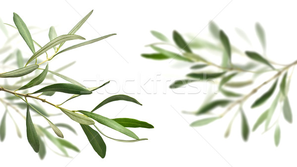 оливковое дерево изолированный белый право один Сток-фото © italianestro