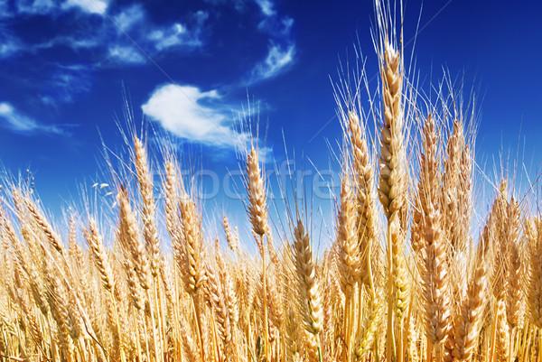 Stock fotó: érett · intenzív · kék · ég · égbolt · felhők · nyár