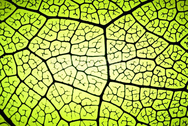 葉 静脈 詳細 バックライト テクスチャ ストックフォト © italianestro
