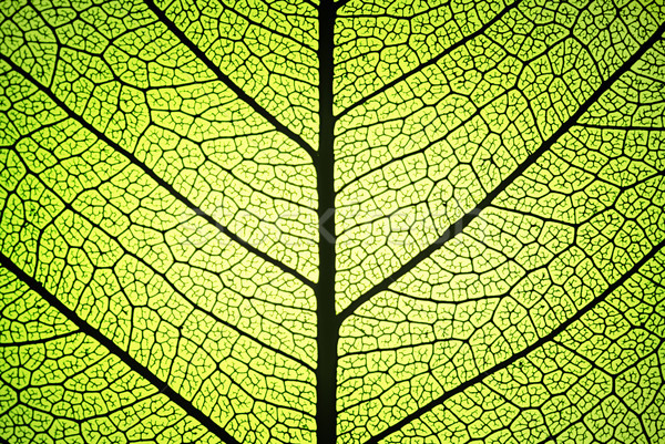 leaf ribs and veins Stock photo © italianestro
