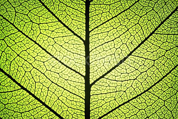 Yaprak damarlar detay arka ışık Stok fotoğraf © italianestro
