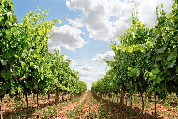 Vid Toscana tierra Italia alimentos Foto stock © italianestro