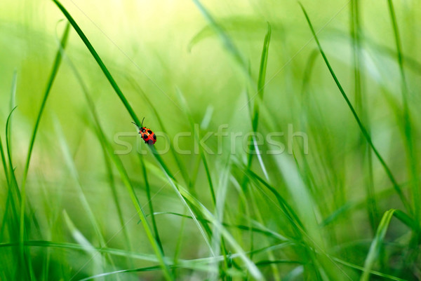 red bug climbing a blade of grass in a green scenery Stock photo © italianestro