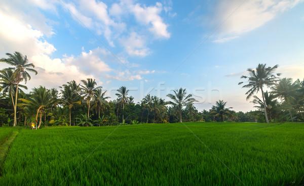 Rijstveld rijst velden vallei bali eiland Stockfoto © iunewind