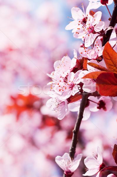 Tavasz cseresznyevirágzás rózsaszín kék növény fehér Stock fotó © IvicaNS