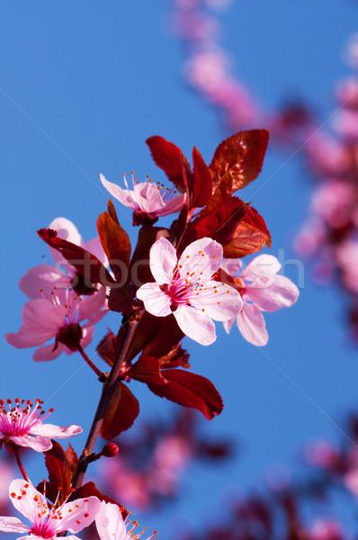 Voorjaar roze Blauw plant witte Stockfoto © IvicaNS