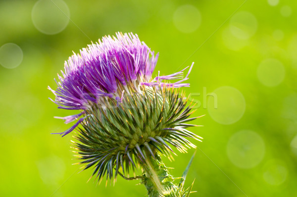 Thistle flower Stock photo © IvicaNS