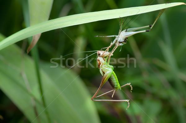 bush-cricket metamorphosis Stock photo © IvicaNS