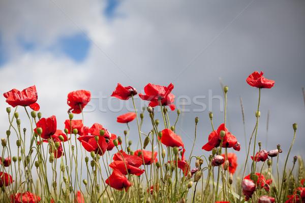 Piros pipacsok zöld mező virág pipacs Stock fotó © IvicaNS