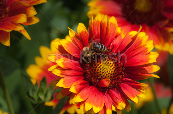 honey bee on flower Stock photo © IvicaNS