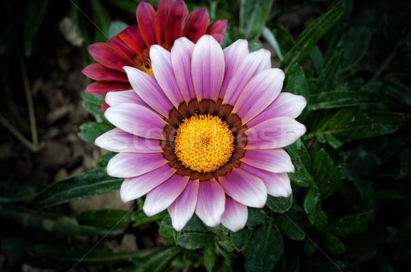 Trillend zonnige bloem inlander zuidelijk afrika Stockfoto © IvicaNS
