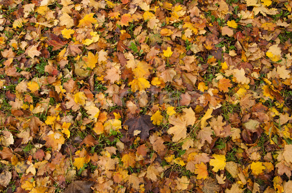 autumn leaves Stock photo © IvicaNS