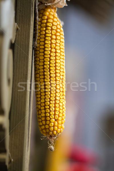 Groot Geel rijp oor mais Stockfoto © IvicaNS