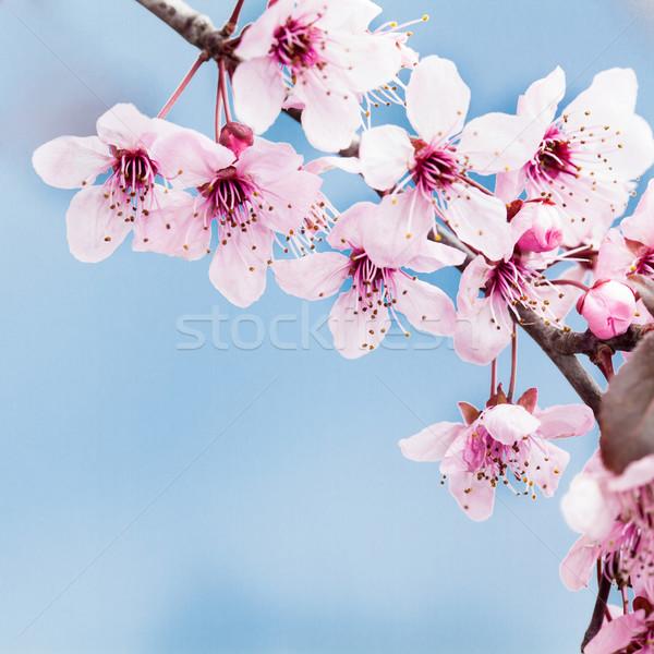 Bahar kiraz çiçeği mavi ağaç doğa Stok fotoğraf © IvicaNS