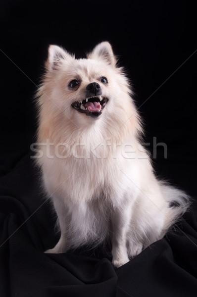 Köpek siyah göz güzellik turuncu portre Stok fotoğraf © IvicaNS