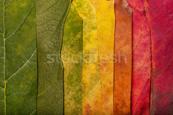 őszi levelek klasszikus ősz színes levelek fa Stock fotó © IvicaNS