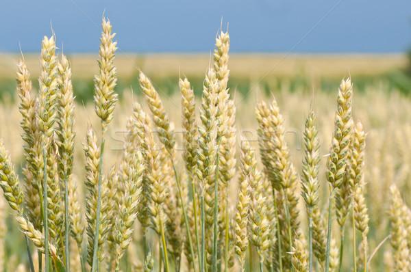 Tarwe Geel groeiend boerderij veld natuur Stockfoto © IvicaNS