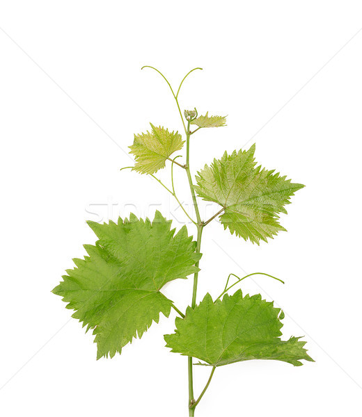 Branch of grape vine on white background Stock photo © ivo_13