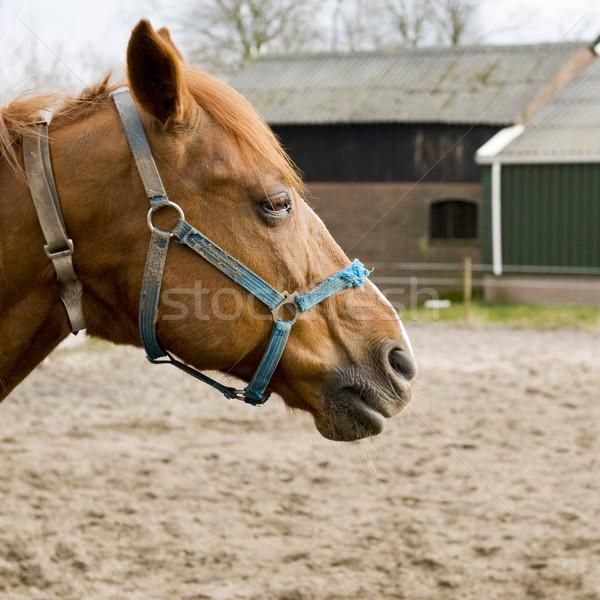 Brown horse with blue halter Stock photo © ivonnewierink