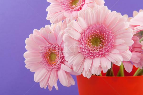 Pink Gerber Stock photo © ivonnewierink