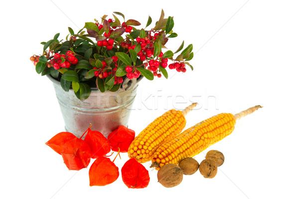Japanese lanterns maize plant and walnuts Stock photo © ivonnewierink