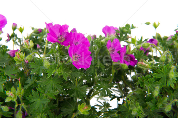 Geranium for the garden Stock photo © ivonnewierink