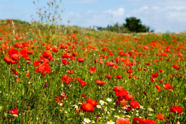 Mezők piros pipacsok egyéb vad virágok Stock fotó © ivonnewierink